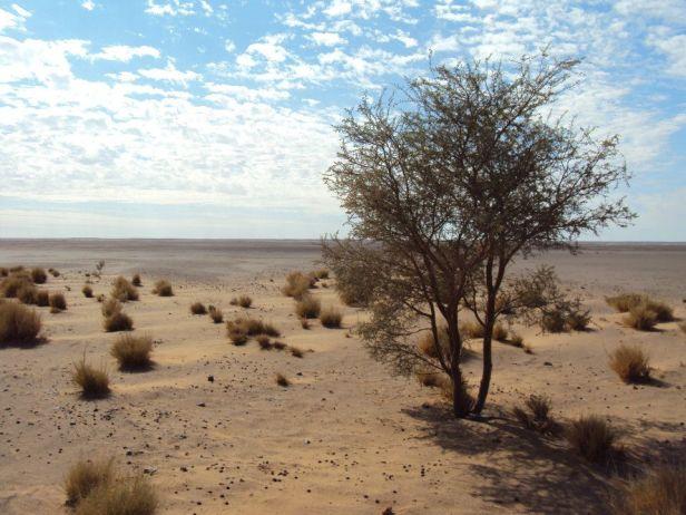 Escasa vegetación en lo que los saharauis conocen como ríos - lugares con algunos arbustos por donde corre el agua las pocas veces que llueve