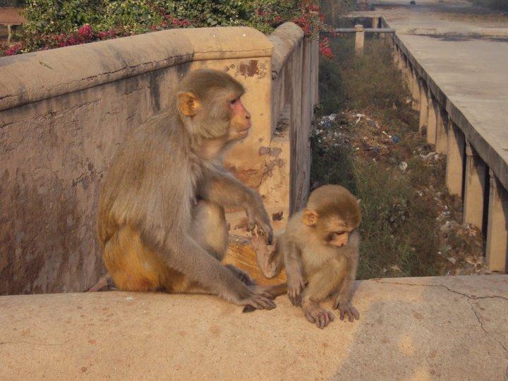 Monos sobre el Fuerte Rojo