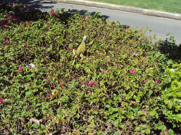 Iguana en las afueras del hotel