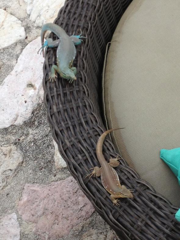 Lagartos en las sillas de la piscina del hotel