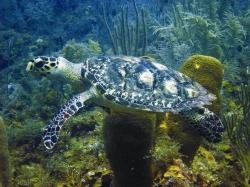 Tortuga marina en la Reserva de Seaflower, Colombia