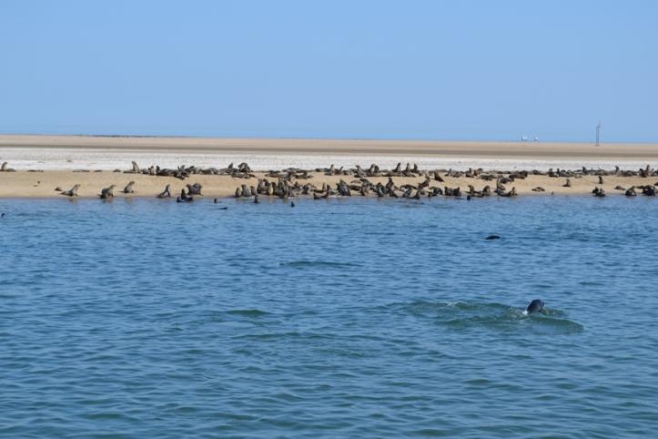 Colonia de lobos marinos en Walvisbaai