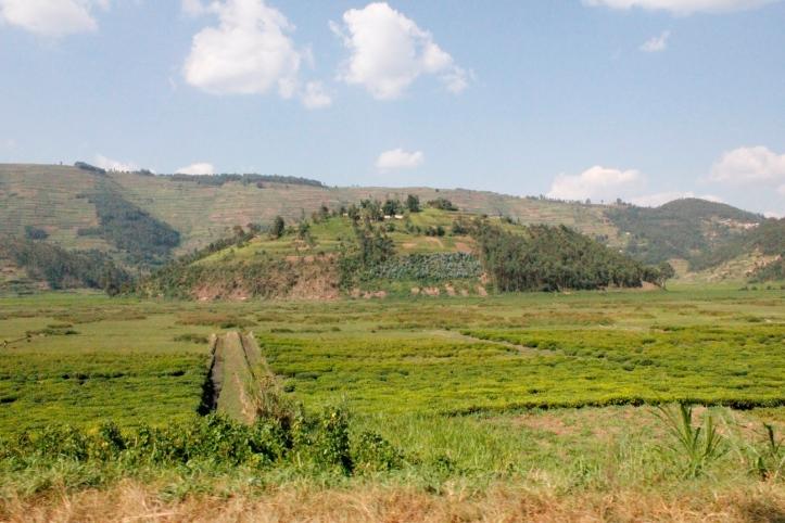 Cultivos de té en las afueras de Kigali