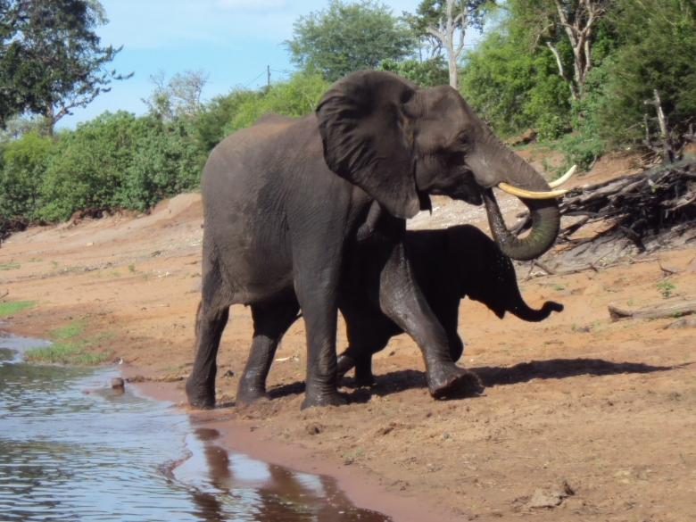 Elefantes sobre el Río Zambeze en Zambia
