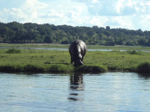 Hipopótamo sobre el Río Chobe en Botswana