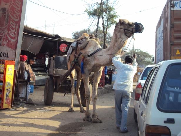 Camello en las calles de Jaipur