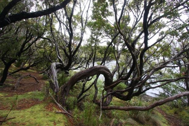 Auckland Island rata forest IMG_3866 K Rexer-Huber