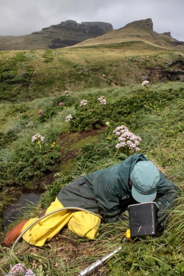Burrowscoping white-chinned petrels, Adams