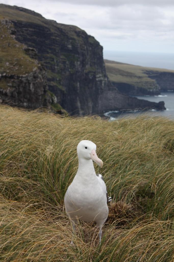 Gibsons albatross IMG_2806 G Parker