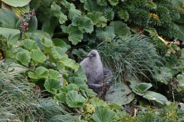 Light mantled sooty albatross chick on its nest among megaherbs (Courtesy of: Kalinka Rexer-Huber)