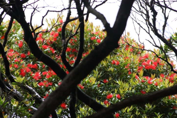 Southern rata flower IMG_2987 K Rexer-Huber
