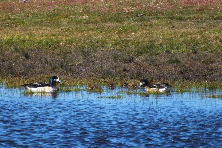 Chiloe wigeon pair with chicks