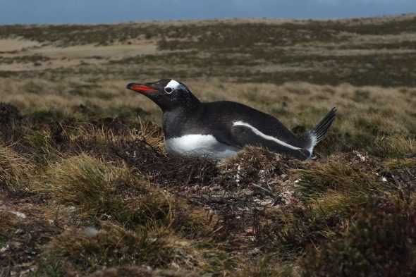 Gentoo penguin nesting in the grasses