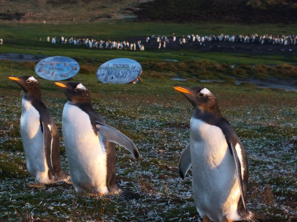 Gentoo penguins in front of the King penguin colony in the background