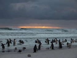 King penguins Gentoo penguins and dolphin gulls in the morning