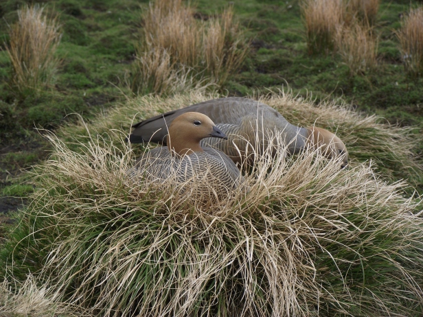 Nesting ruddy headed goose