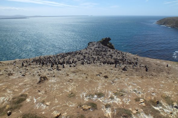 Rockhopper penguin colony with a brilliant view