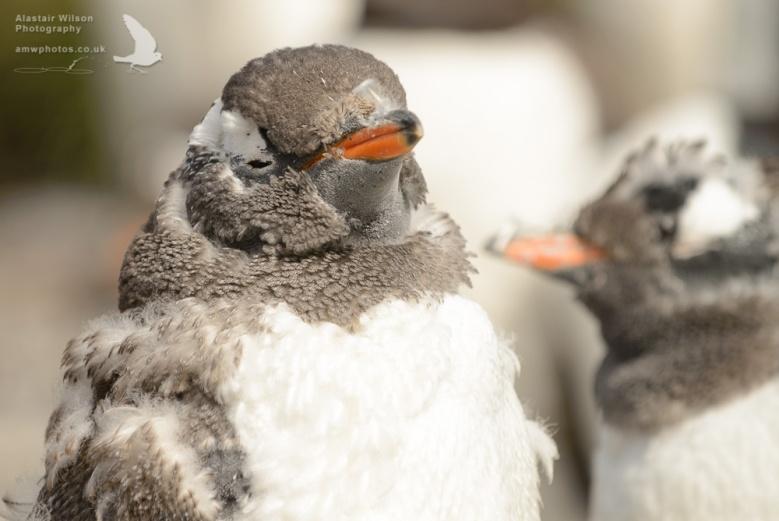 Gentoo Penguin moulting