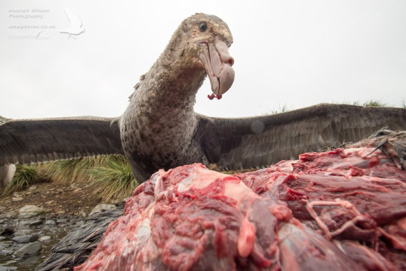 Giant Petrel and a seal carcass