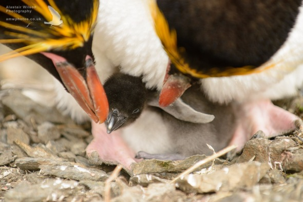 Macaroni Penguins and chick