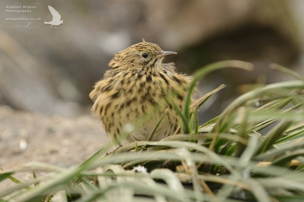 South Georgia Pipit on Bird Island