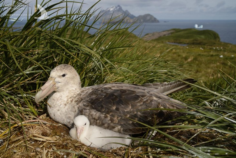 Southern Giant Petrel and chick on Bird Island