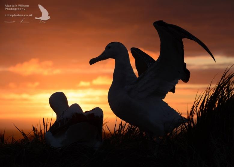 Wandering Albatross pair at sunset