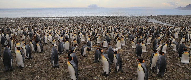St Andrew's Bay king penguin colony (Courtesy of James McKenna)