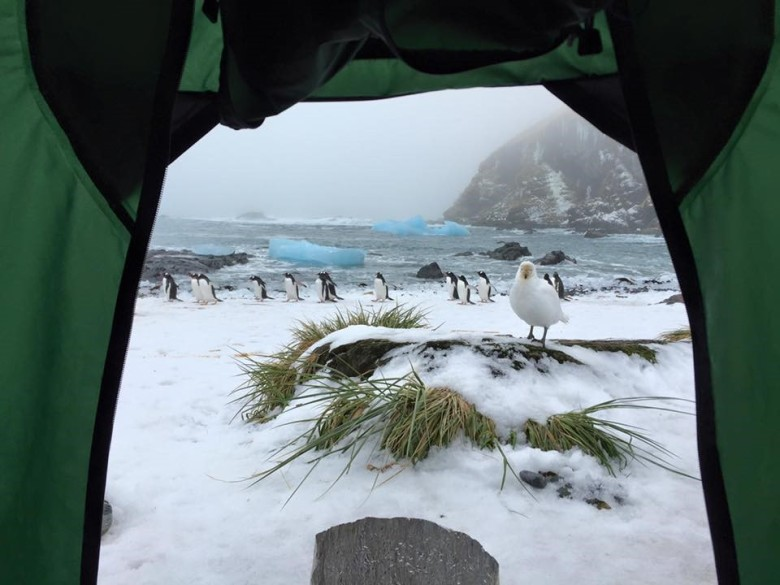 Gentoo penguins, and a curious Snowy sheathbill whilst camping (Courtesy of James McKenna)