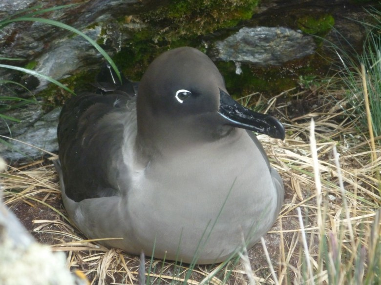 Light mantled sooty albatross (Courtesy of: James McKenna)