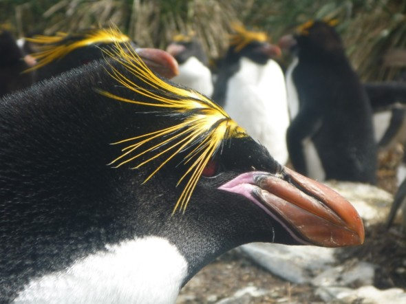 Rockhopper penguin (Courtesy of James McKenna)