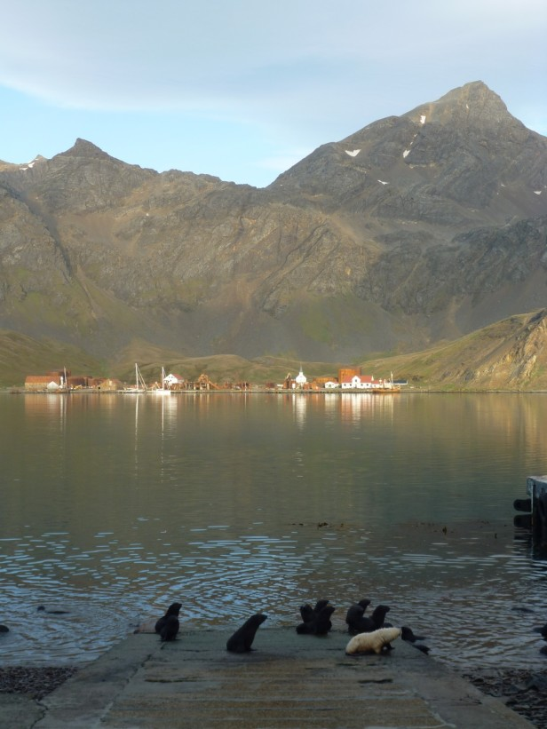 View of Grytivken Whaling station from KEP wharf (with fur seal pups!) (Courtesy of James McKenna)