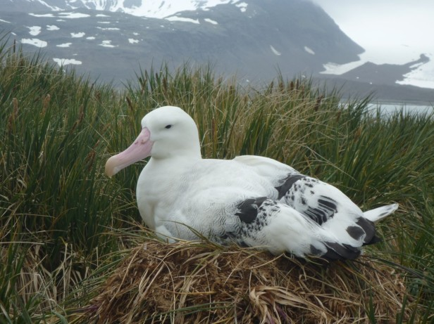 Wandering albatross in the Bay of Isles (Courtesy of James McKenna)